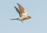 Greater striped swallow (Cecropis cucullata)