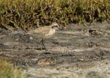 Kittlitz's Plover (Charadrius pecuarius)