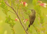 Juvenile fledgling.jpg