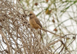 Speckled mousebird (Colius striatus)