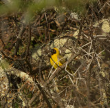 Southern masked weaver or African masked weaver (Ploceus velatus)