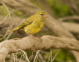 Forest canary (Serinus scotops)