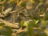 Myrtle Warbler - Dendroica coronata