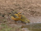 Common Crossbill - (Loxia curvirostra)
