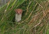 Weasel – Mustela nivalis