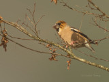 Devon Hawfinch portrait.jpg