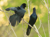 Boat Tailed Grackle - Quiscalus major