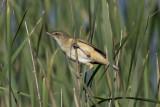 Great reed warbler (Acrocephalus arundinaceus)