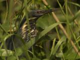 Black bittern (Ixobrychus flavicollis)