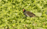 Common Moorhen G c indica