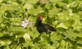 Common Moorhen G c indica