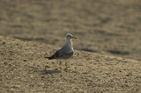 Slender-billed gull (Chroicocephalus genei) i