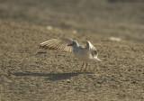 Slender-billed gull (Chroicocephalus genei) i