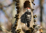 Lesser spotted woodpecker (Picoides minor)