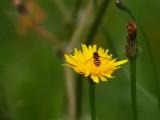 Devon Hoverflies