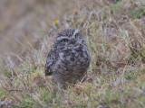 Ecuadorian burrowing owl (Athene cunicularia pichinchae)