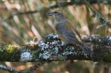 Common Crossbill - (Loxia curvirostra)
