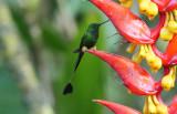 Peruvian racket-tail (Ocreatus peruanus)