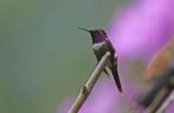 Purple-throated Woodstar (Calliphlox mitchellii)