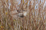 Isabelline shrike or Daurian shrike (Lanius isabellinus)