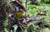 Pale-naped Brushfinch Atlapetes pallidinucha