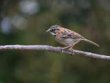 Rufous-collared sparrow or Andean sparrow (Zonotrichia capensis)