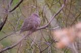 Ground Dove - Columbina passerina
