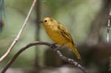 Saffron finch (Sicalis flaveola)