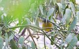 Golden-rumped euphonia (Euphonia cyanocephala)