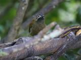 Golden-olive woodpecker (Colaptes rubiginosus)