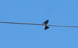 Blue-and-white Swallow Pygochelidon cyanoleuca