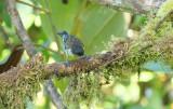 Rufous-throated tanager (Tangara rufigula)