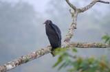 Black Vulture Coragyps_atratus
