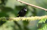 Lemon-rumped Tanager (Ramphocelus_Icteronotus)