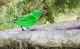 Glistening-green tanager (Chlorochrysa phoenicotis)