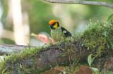 Flame-faced Tanager (Tangara parzudakii)