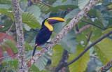 Chestnut-mandibled Toucan (Ramphastos swainsoni)
