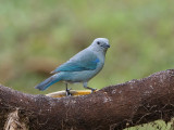 Blue-gray Tanager Thraupis episcopus