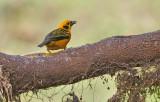 Golden Tanager (Tangara arthus)