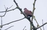 Ruddy Pigeon Patagioenas subvinacea