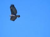 Black-chested buzzard-eagle (Geranoaetus melanoleucus)