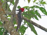 Lineated woodpecker (Dryocopus lineatus)