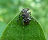 Longhorn beetle (Astylopsis macula)