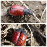 Blister Beetles (Meloidae)