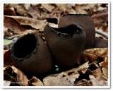 Devil's urn (Urnula craterium)