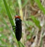 Pine false webworm (Acantholyda erythrocephala)