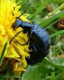 Blister beetle (Meloe), female