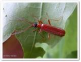 Fire-coloured beetle (Dendroides concolor)