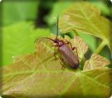 Fire-colored beetle  (Schizotus cervicalis)