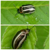 California calligrapha beetle (Calligrapha californica)